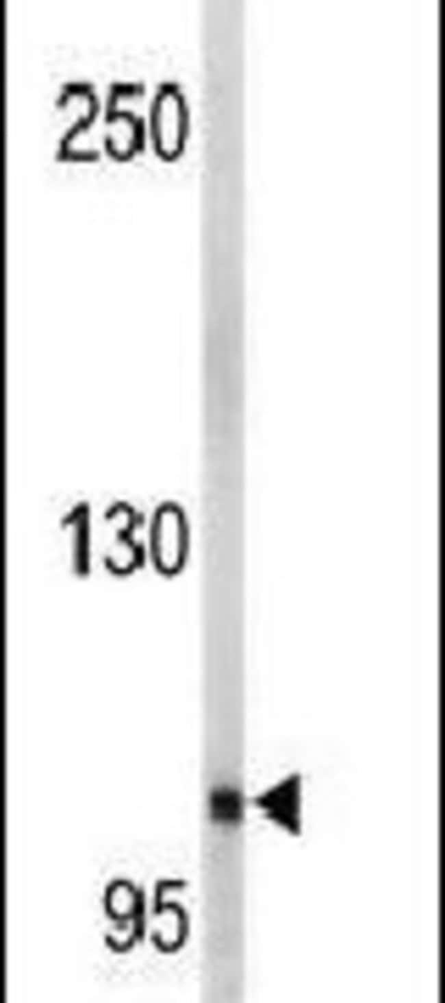 EphA5 Rabbit anti-Human, Mouse, Polyclonal, Invitrogen™ 400 μL; Unconjugated Primary Antibodies Eo to Ep