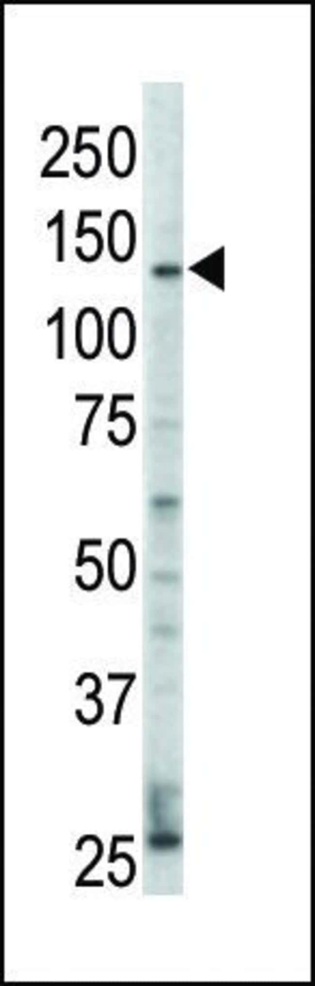 ErbB4 Rabbit anti-Human, Polyclonal, Invitrogen 400 µL; Unconjugated