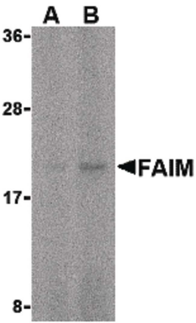 FAIM Rabbit anti-Human, Mouse, Polyclonal, Invitrogen 100 µg; Unconjugated