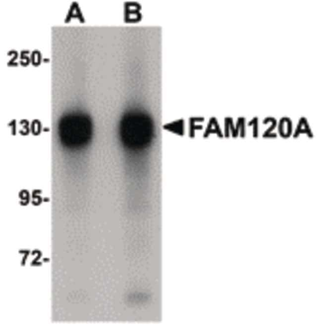 FAM120A Rabbit anti-Human, Mouse, Rat, Polyclonal, Invitrogen 100 µg;