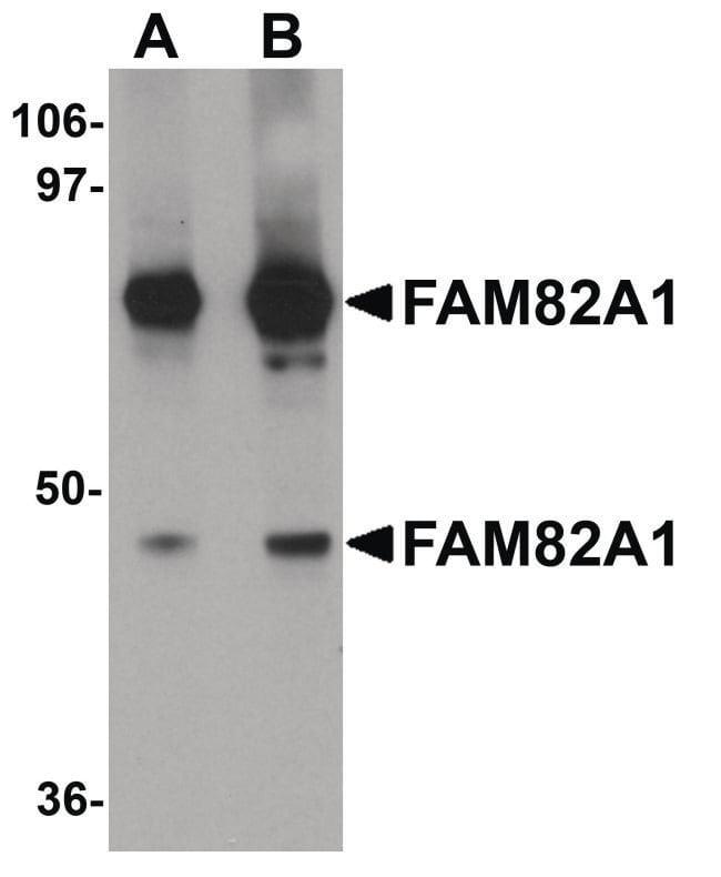 FAM82A1 Chicken anti-Human, Mouse, Rat, Polyclonal, Invitrogen 100 µg;