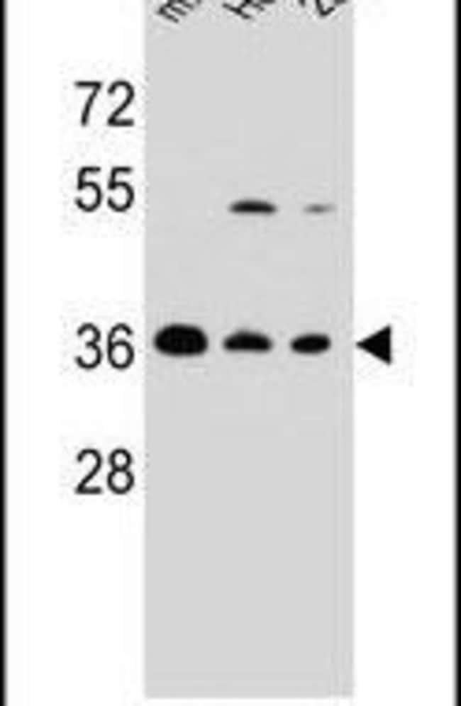 FBXO2 Rabbit anti-Human, Mouse, Polyclonal, Invitrogen 400 µL; Unconjugated