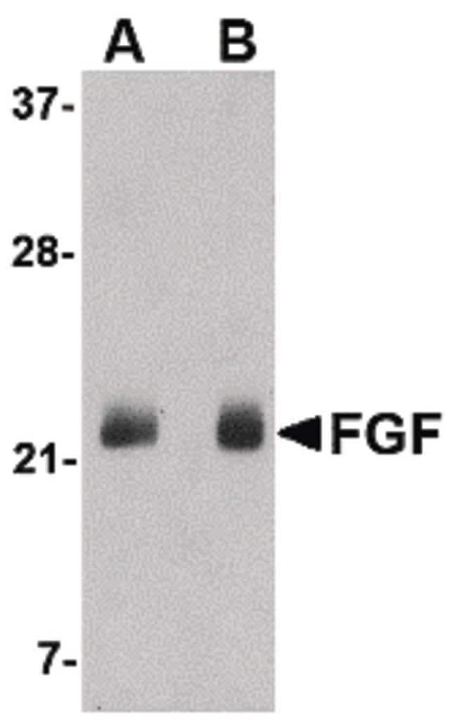 FGF4 Rabbit anti-Human, Mouse, Polyclonal, Invitrogen 100 µg; Unconjugated