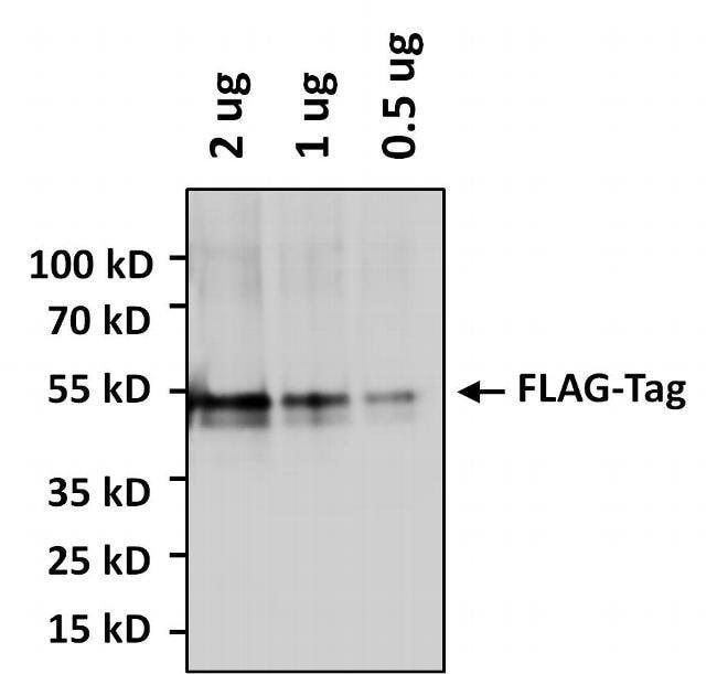 DYKDDDDK Tag Rabbit anti-Tag, HRP, Polyclonal, Invitrogen 50 µL; HRP