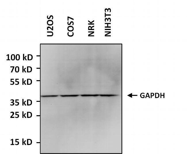 GAPDH Rabbit anti-Human, Mouse, Rat, HRP, Polyclonal, Invitrogen 50 µL;