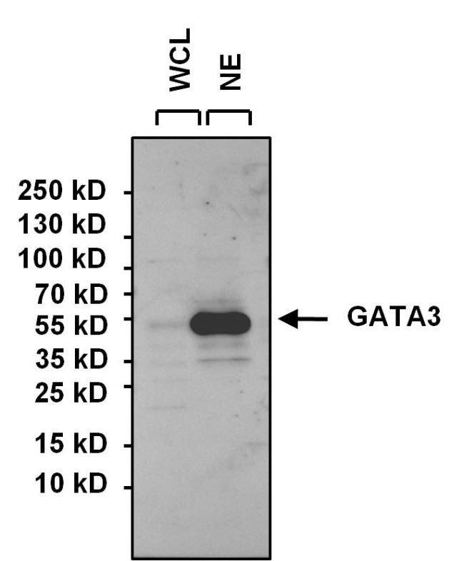 GATA3 Rabbit anti-Human, Polyclonal, Invitrogen 100 µg; Unconjugated