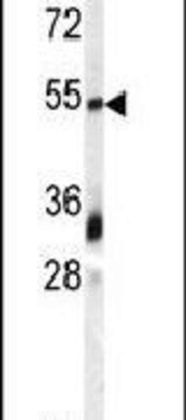 GDF10 Rabbit anti-Human, Polyclonal, Invitrogen 400 µL; Unconjugated