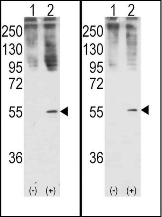 GDF11 Rabbit anti-Human, Polyclonal, Invitrogen 400 µL; Unconjugated
