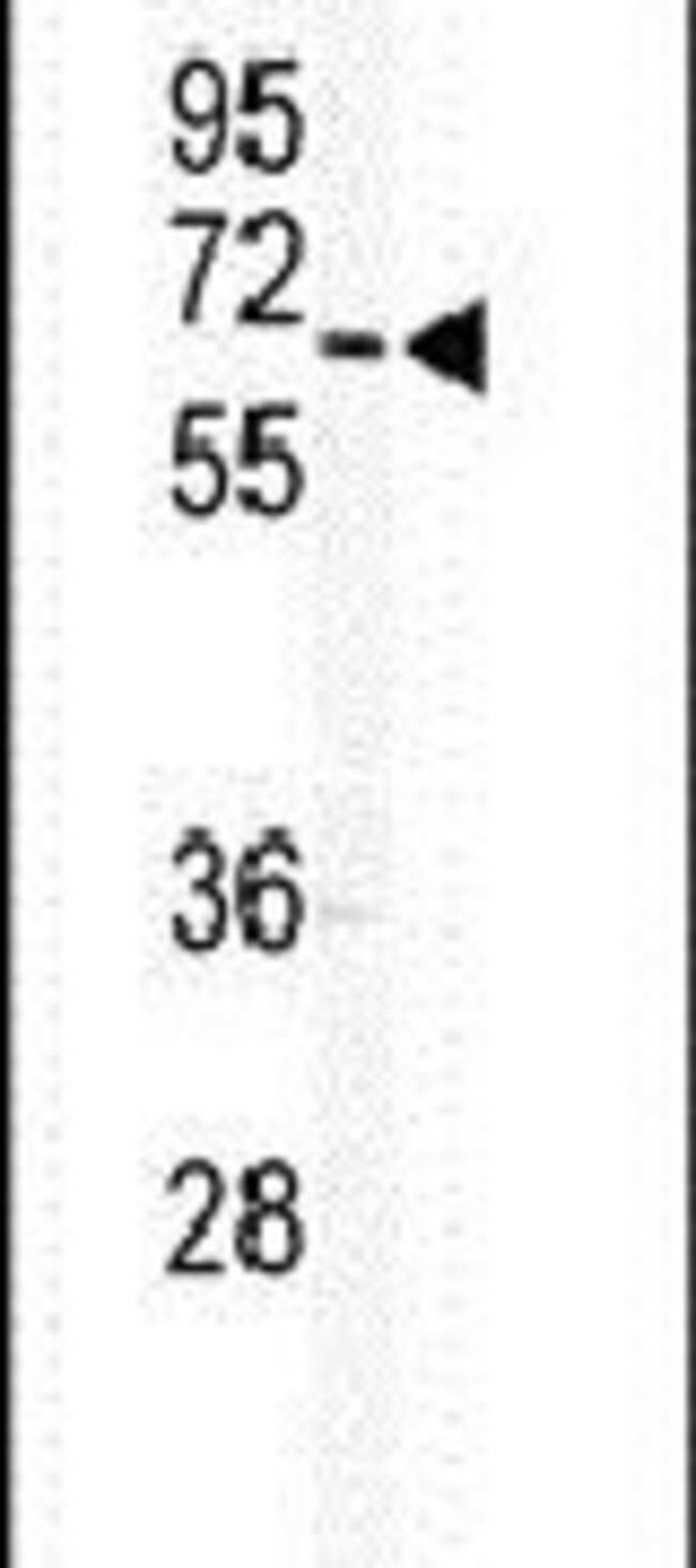 GJA9 Rabbit anti-Human, Mouse, Polyclonal, Invitrogen 400 µL; Unconjugated