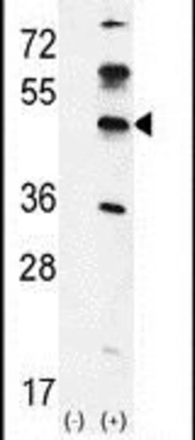 GKAP1 Rabbit anti-Human, Polyclonal, Invitrogen 400 µL; Unconjugated