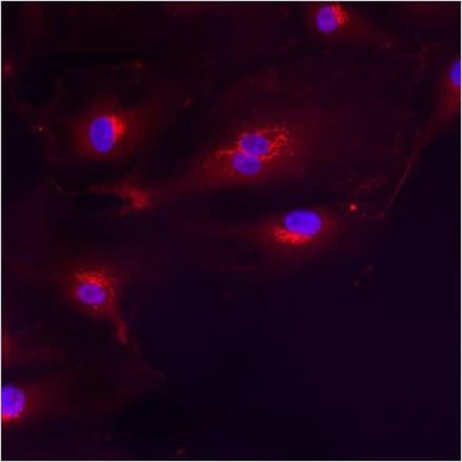 GM130 Rabbit anti-Human, Polyclonal, Invitrogen 100 µg; Unconjugated