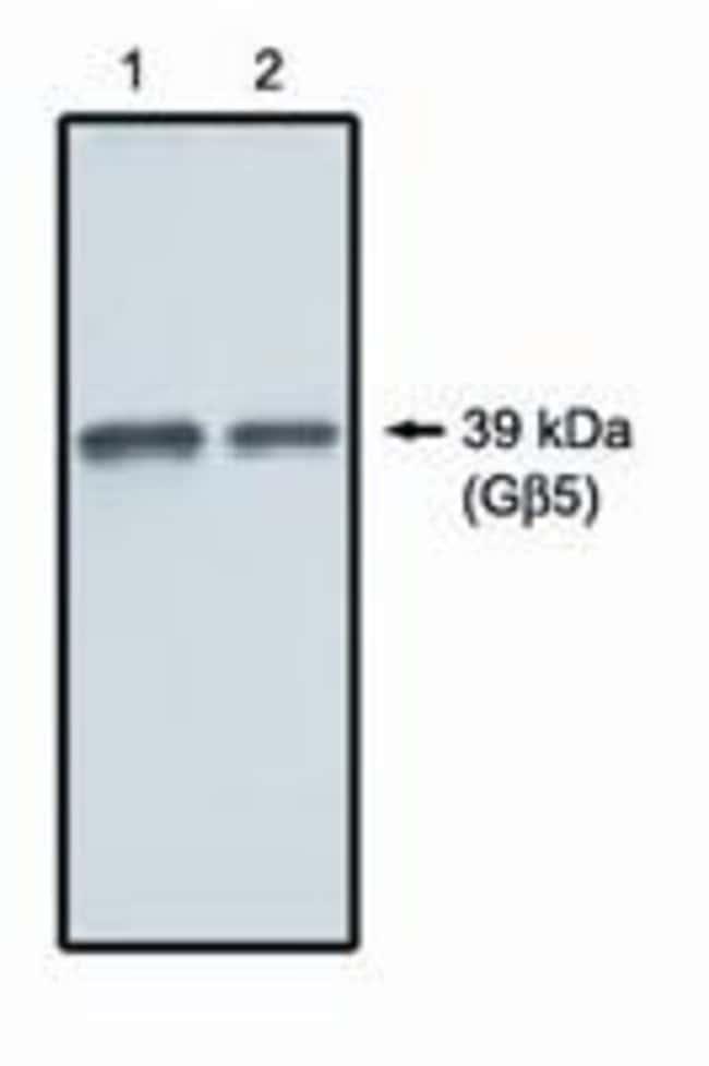 GNB5 Rabbit anti-Human, Mouse, Rat, Polyclonal, Invitrogen 100 µg;