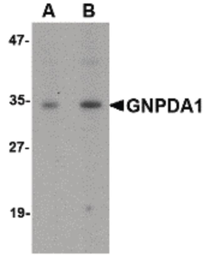 GNPDA1 Rabbit anti-Human, Mouse, Rat, Polyclonal, Invitrogen 100 µg;