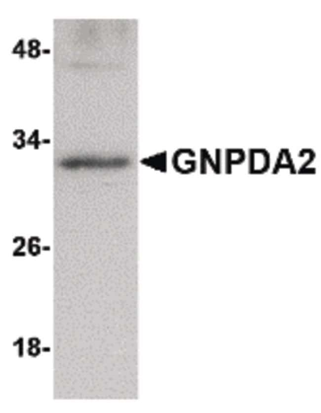 GNPDA2 Rabbit anti-Human, Mouse, Polyclonal, Invitrogen 100 µg; Unconjugated