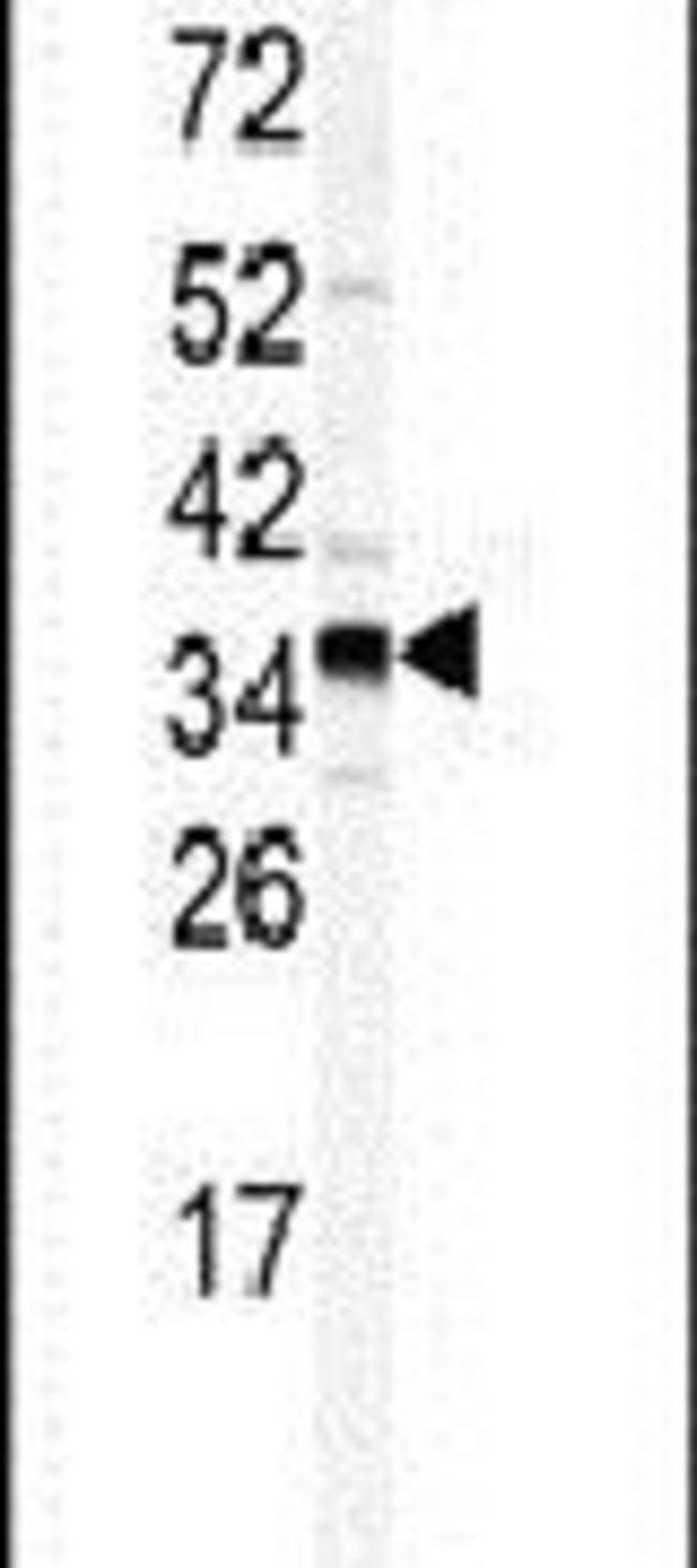 GOLPH3 Rabbit anti-Human, Polyclonal, Invitrogen 400 µL; Unconjugated