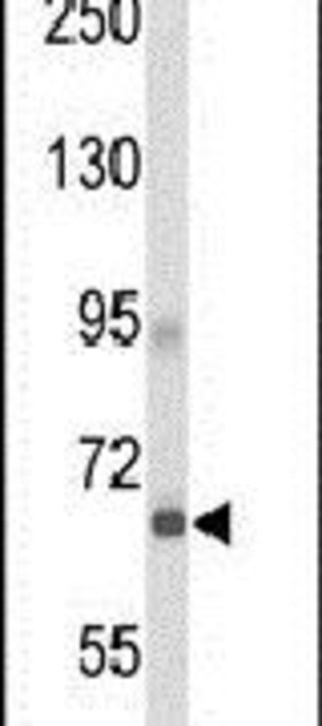GPR133 Rabbit anti-Human, Polyclonal, Invitrogen 400 µL; Unconjugated