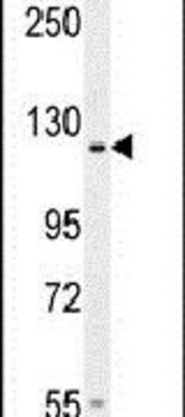 GPR144 Rabbit anti-Human, Polyclonal, Invitrogen 400 µL; Unconjugated