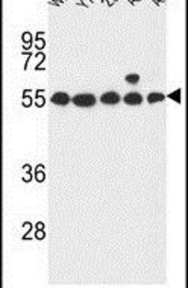 GPR180 Rabbit anti-Human, Polyclonal, Invitrogen 400 µL; Unconjugated