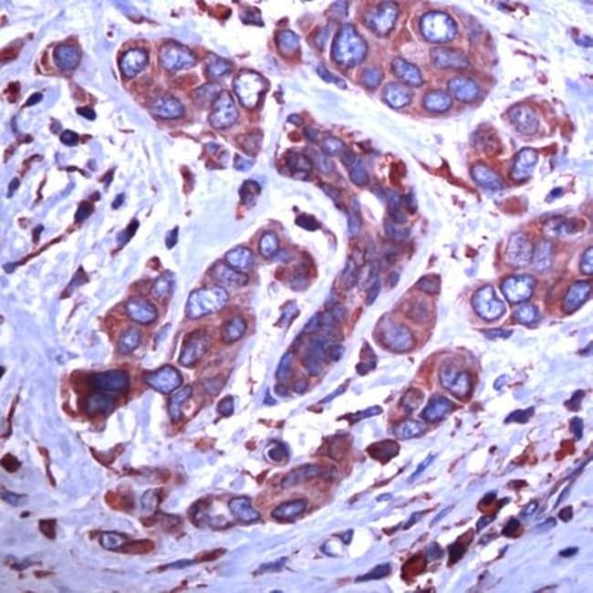 GRP94 Rabbit anti-Human, Polyclonal, Invitrogen 1 mL; Unconjugated:Antibodies