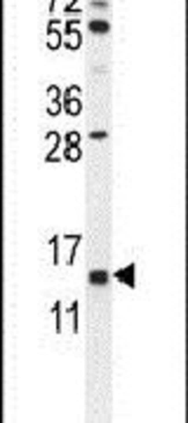 GTSF1 Rabbit anti-Human, Mouse, Polyclonal, Invitrogen 400 µL; Unconjugated