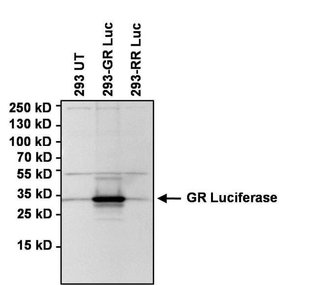 Green Renilla luciferase Rabbit anti-Renilla, Polyclonal, Invitrogen 100