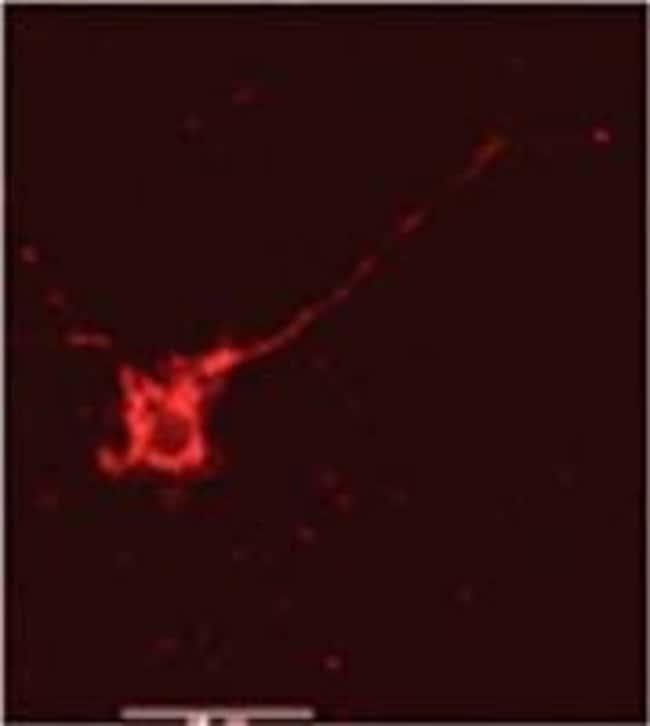 NMDAR2B Rabbit anti-Human, Mouse, Rat, Polyclonal, Invitrogen 200 µL;
