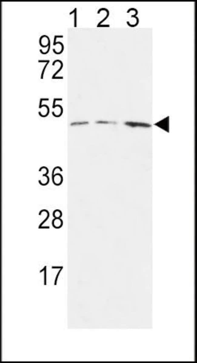 HAPLN1 Rabbit anti-Human, Polyclonal, Invitrogen 400 µL; Unconjugated