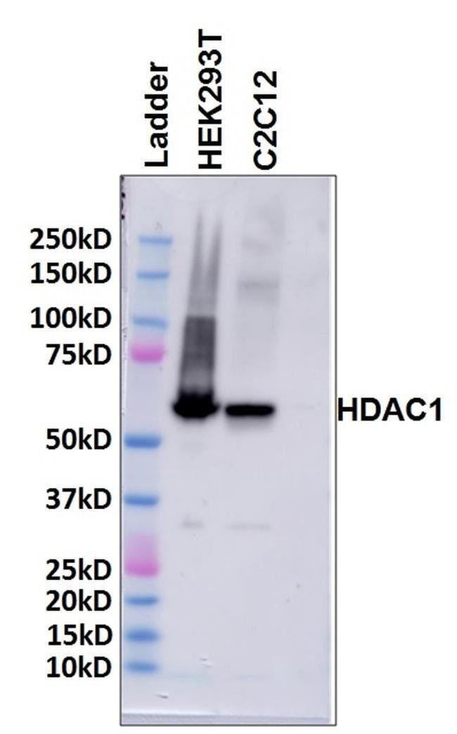 HDAC1 Rabbit anti-Canine, Hamster, Human, Mouse, Rat, Polyclonal, Invitrogen