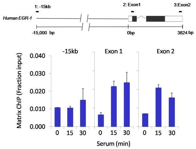 HDAC4 Rabbit anti-Human, Polyclonal, Invitrogen 100 µg; Unconjugated