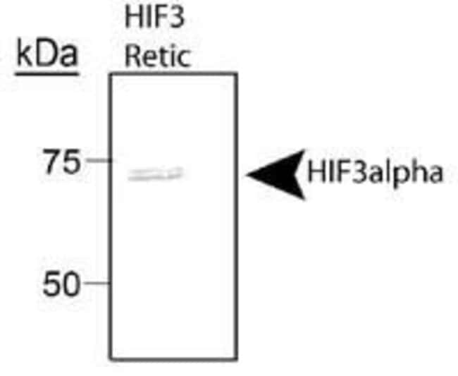 HIF3A Rabbit anti-Human, Mouse, Polyclonal, Invitrogen 100 µL; Unconjugated