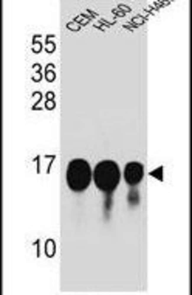 HIST1H2BJ Rabbit anti-Human, Polyclonal, Invitrogen 400 µL; Unconjugated