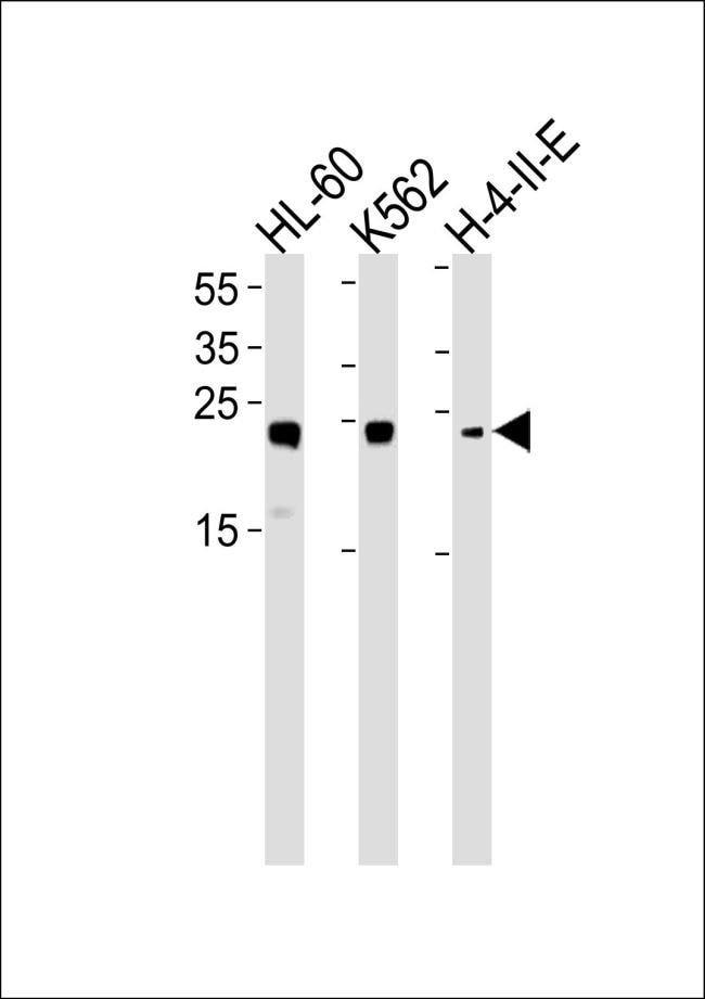 HMGB2 Rabbit anti-Human, Polyclonal, Invitrogen 400 µL; Unconjugated