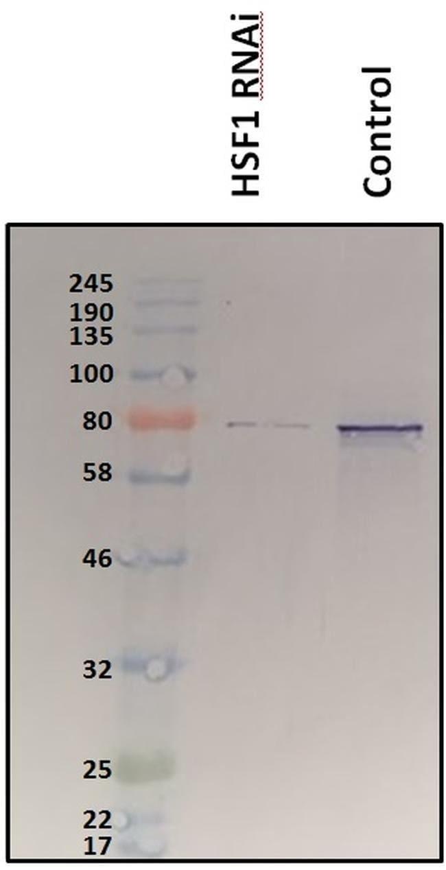 HSF1 Rabbit anti-C. elegans, Human, Mouse, Polyclonal, Invitrogen 100 µL;