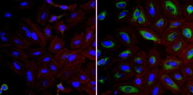 FKBP4 Rabbit anti-Human, Mouse, Non-human primate, Rabbit, Polyclonal,