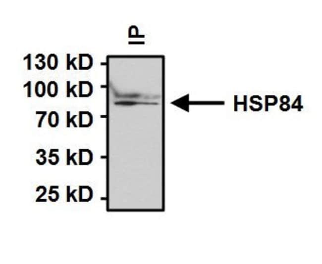 HSP90 beta Rabbit anti-Human, Mouse, Non-human primate, Rat, Polyclonal,