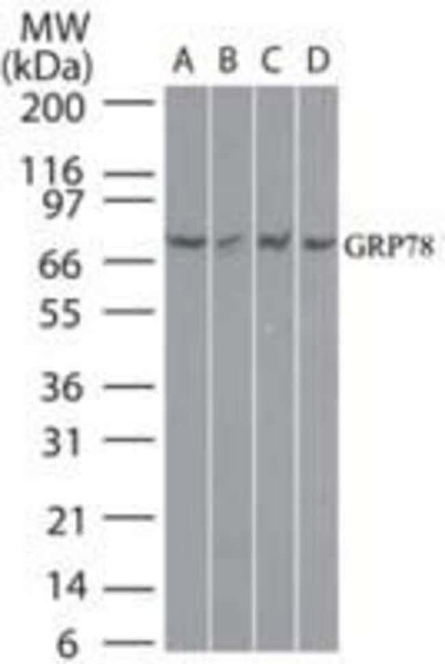 GRP78 Rabbit anti-Human, Mouse, Polyclonal, Invitrogen 100 µg; Unconjugated