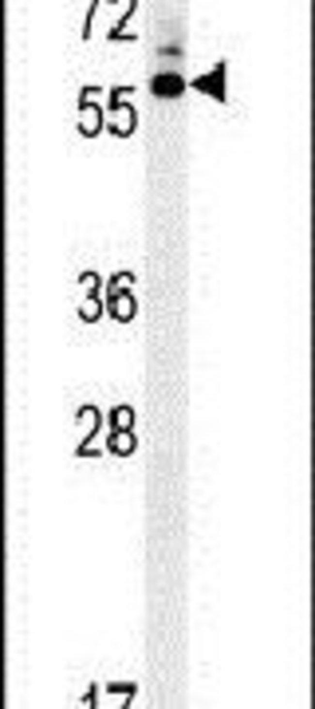 HTR3C Rabbit anti-Human, Polyclonal, Invitrogen 400 µL; Unconjugated