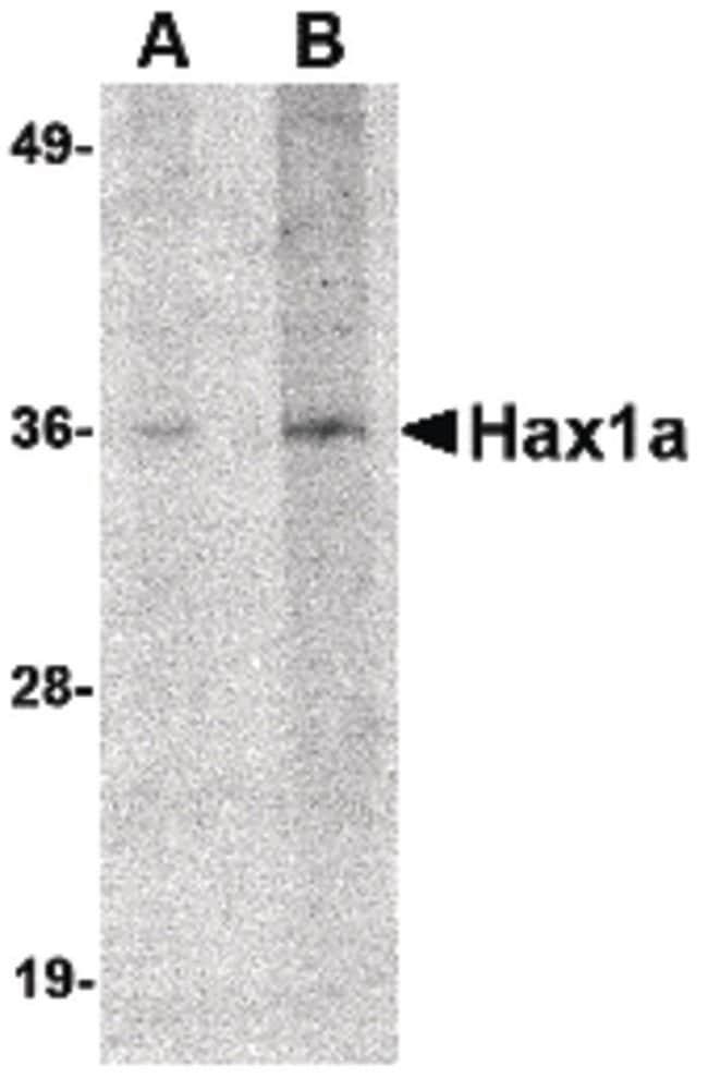 HAX1a Rabbit anti-Human, Mouse, Rat, Polyclonal, Invitrogen 100 µg;