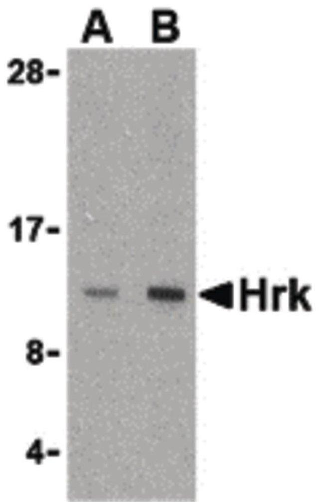 HRK Rabbit anti-Human, Mouse, Polyclonal, Invitrogen 100 µg; Unconjugated