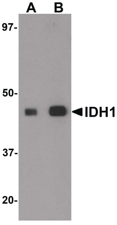 IDH1 Rabbit anti-Human, Mouse, Rat, Polyclonal, Invitrogen 100 µg;