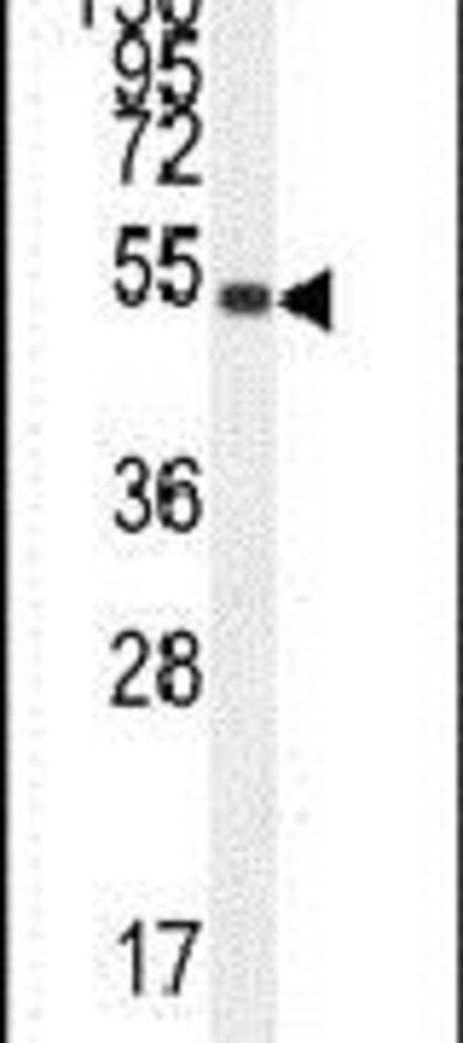 IGSF5 Rabbit anti-Human, Polyclonal, Invitrogen 400 µL; Unconjugated