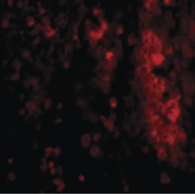 IL-33 Rabbit anti-Human, Polyclonal, Invitrogen 100 µg; Unconjugated