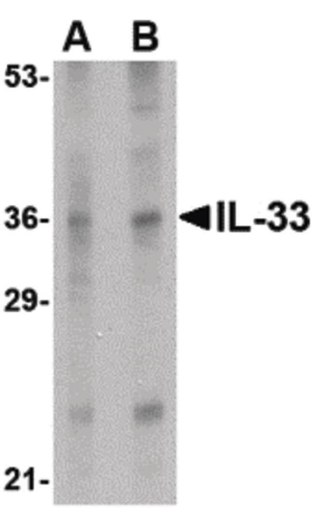 IL-33 Rabbit anti-Human, Mouse, Polyclonal, Invitrogen 100 µg; Unconjugated