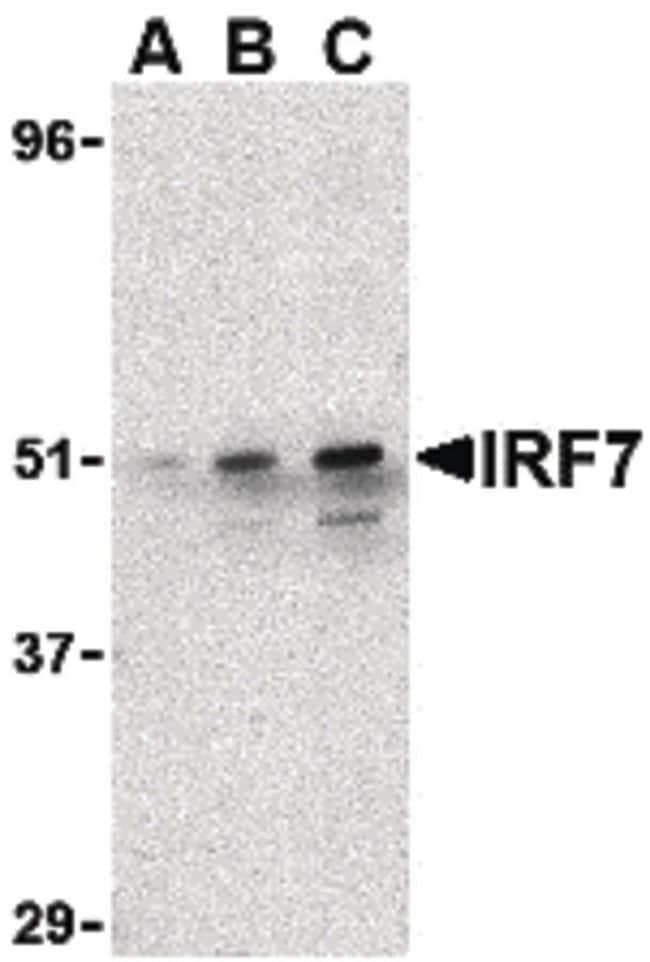 IRF7 Rabbit anti-Human, Mouse, Rat, Polyclonal, Invitrogen 100 µg;