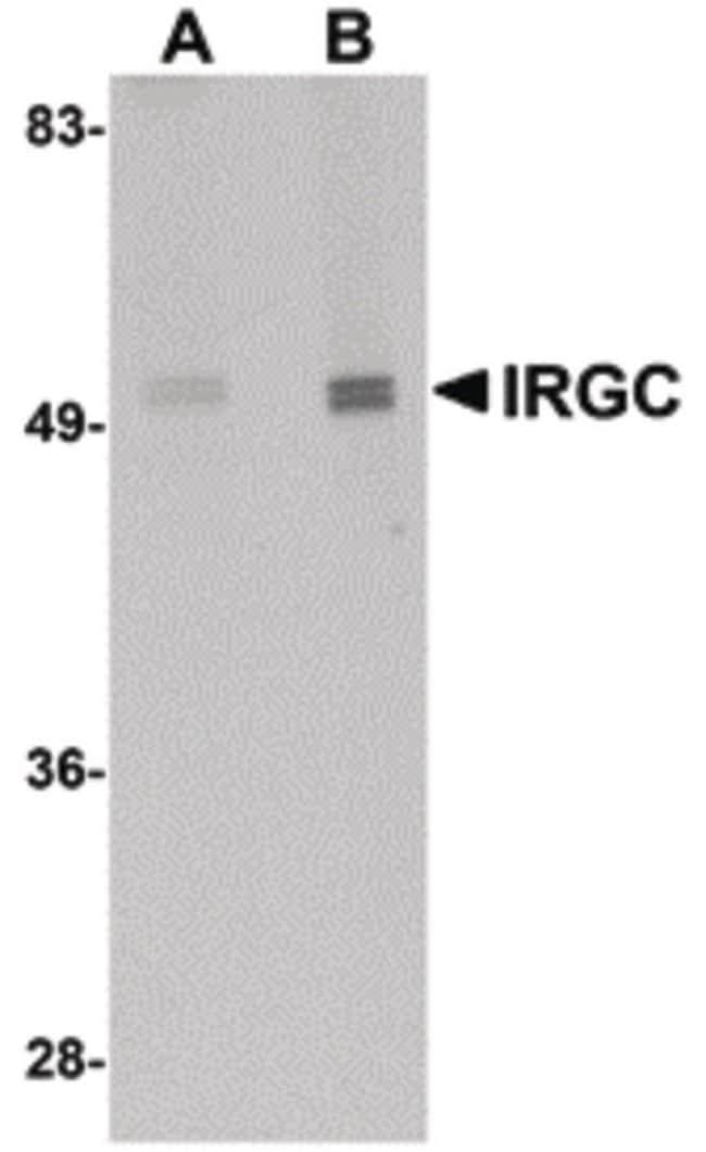 IRGC Rabbit anti-Human, Mouse, Rat, Polyclonal, Invitrogen 100 µg;