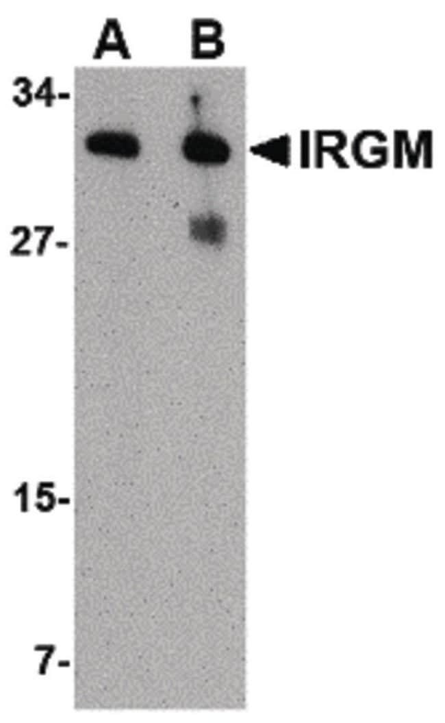 IRGM Rabbit anti-Human, Mouse, Rat, Polyclonal, Invitrogen 100 µg;