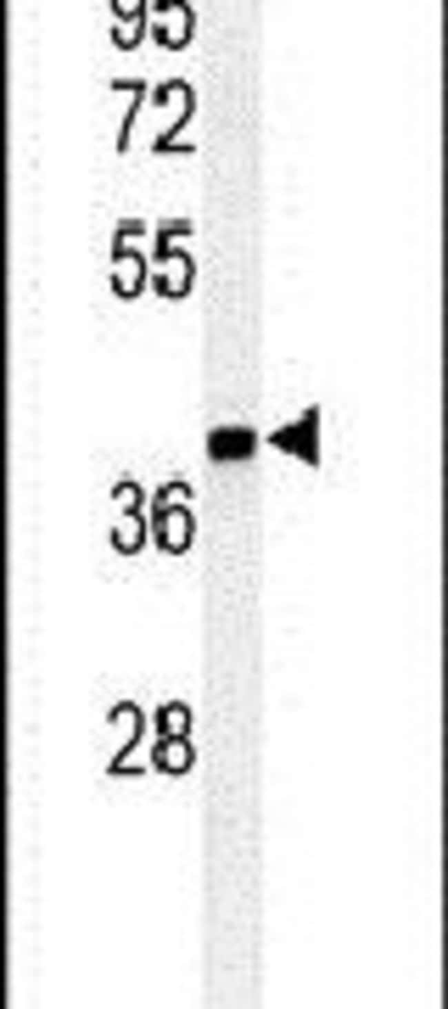 ISM1 Rabbit anti-Human, Mouse, Polyclonal, Invitrogen 400 µL; Unconjugated