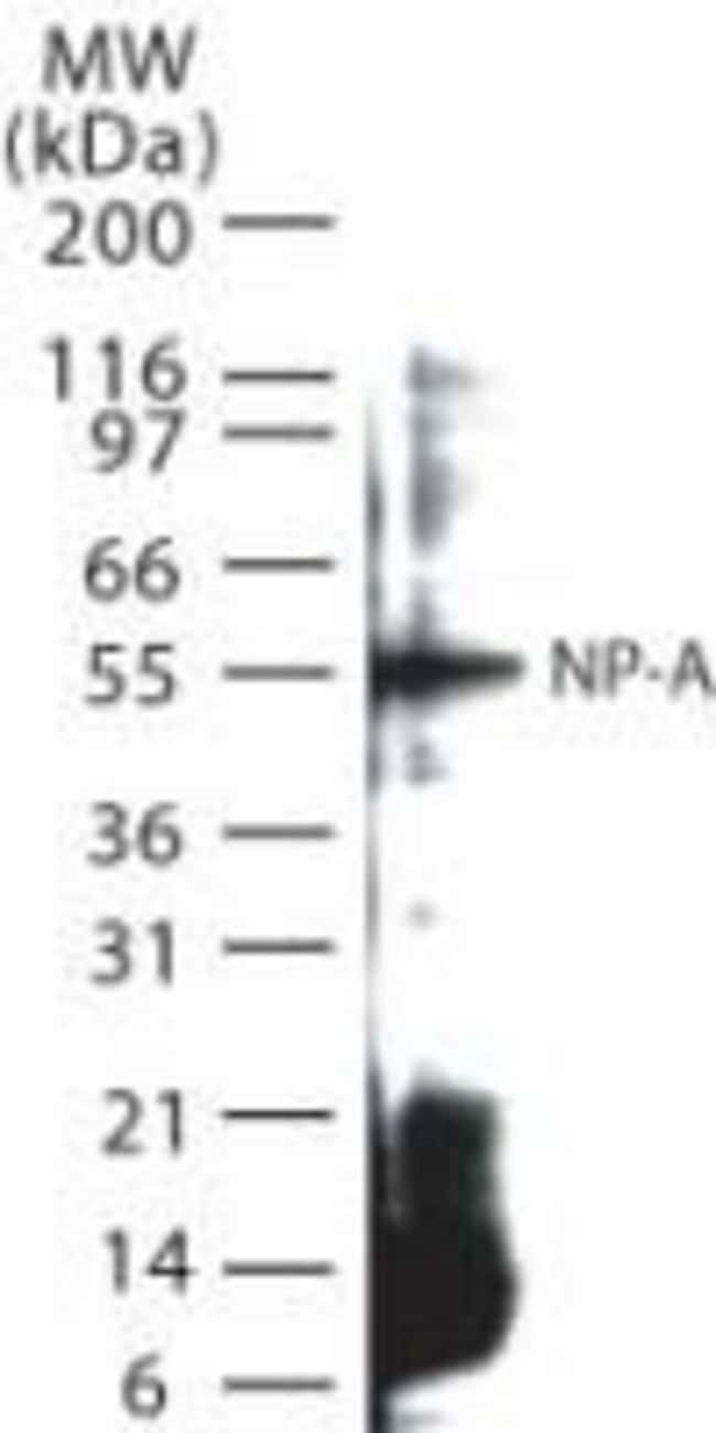 Influenza A NP Rabbit anti-Virus, Polyclonal, Invitrogen 100 µg; Unconjugated