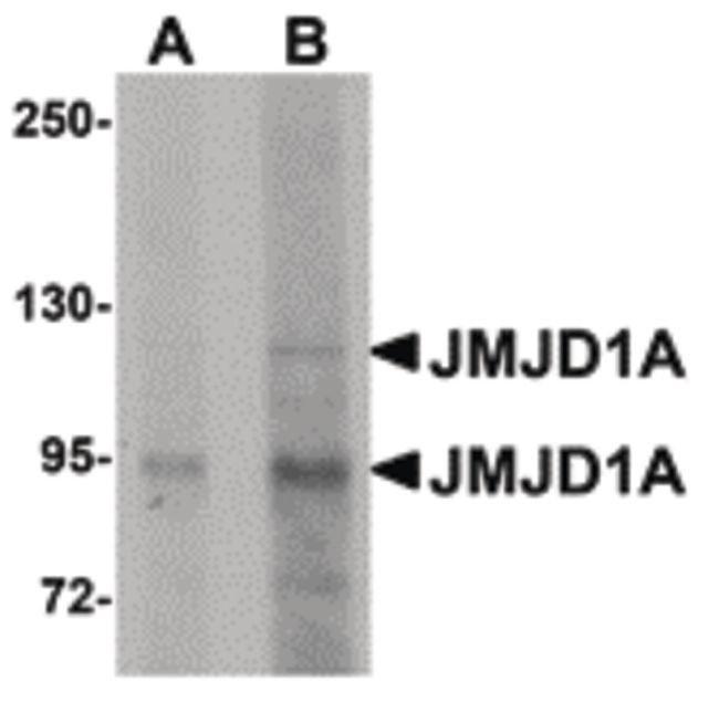 JMJD1A Rabbit anti-Human, Mouse, Rat, Polyclonal, Invitrogen 100 µg;