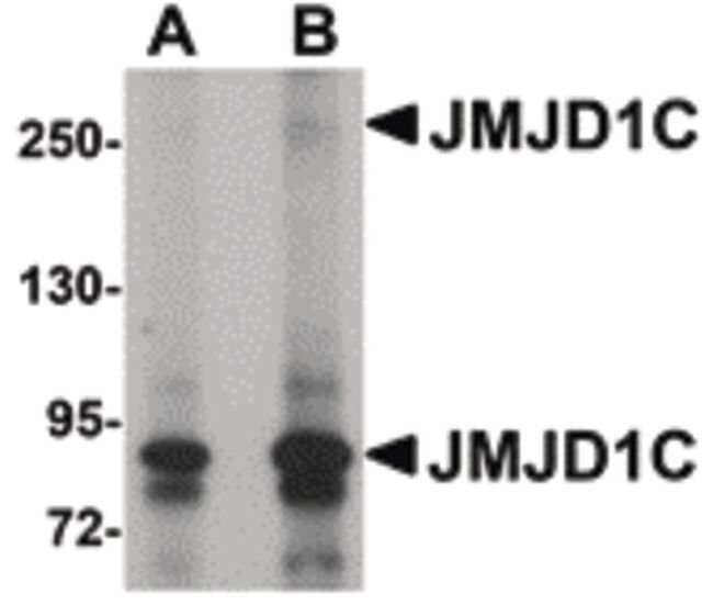 JMJD1C Rabbit anti-Human, Mouse, Rat, Polyclonal, Invitrogen 100 µg;